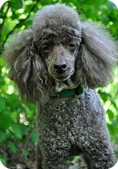 Miniature Poodle Dog for adoption in Elk River, Minnesota - BUDDY