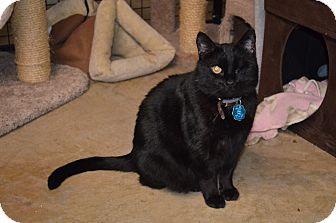 Domestic Shorthair Cat for adoption in Mt. Airy, North Carolina - Blackie