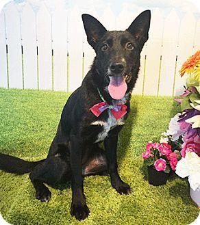Labrador Retriever/Shepherd (Unknown Type) Mix Dog for adoption in Castro Valley, California - Welli