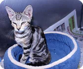 Bengal Kitten for adoption in Lumberton, North Carolina - Fennel