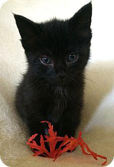 Bombay Kitten for adoption in Nashville, Tennessee - Graham