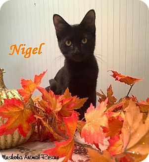 Domestic Shorthair Kitten for adoption in Huntsville, Ontario - Nigel - Adopted January 2017