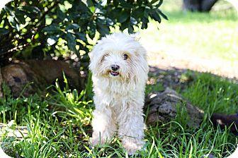 Shih Tzu/Poodle (Miniature) Mix Dog for adoption in Auburn, California - Sir Barkley