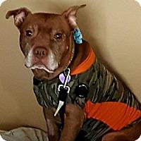 Adopt A Pet :: Queenie Chocolate - Edmonton, AB