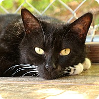 Domestic Shorthair Cat for adoption in McCormick, South Carolina - Tipsy