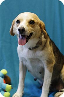 Hound (Unknown Type)/Terrier (Unknown Type, Small) Mix Dog for adoption in Mayflower, Arkansas - Bonny