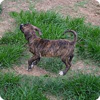 Adopt A Pet :: Dapper - Ijamsville, MD