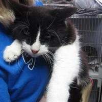 Domestic Mediumhair/Domestic Shorthair Mix Cat for adoption in Robinson, Illinois - Oreo