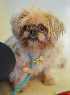 Brussels Griffon Mix Dog for adoption in Philadelphia, Pennsylvania - Amy Jo