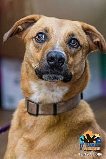 Shepherd (Unknown Type) Mix Dog for adoption in Evansville, Indiana - Odie