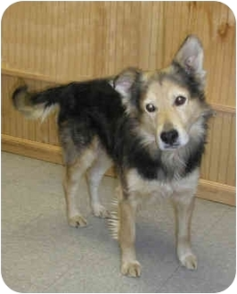 German Shepherd Dog/Collie Mix Dog for adoption in Cranford, New Jersey - Buddy