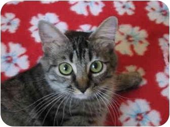 Domestic Mediumhair Cat for adoption in Irvine, California - Annie