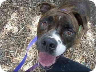 Boxer Mix Dog for adoption in Fair Oaks Ranch, Texas - Brutus