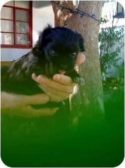 Maltese/Poodle (Miniature) Mix Puppy for adoption in Burbank, California - Chuey