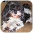 Photo 1 - Poodle (Miniature)/Shih Tzu Mix Dog for adoption in Latrobe, Pennsylvania - Reggie