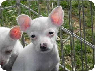 Chihuahua Mix Puppy for adoption in Salem, New Hampshire - Winkin