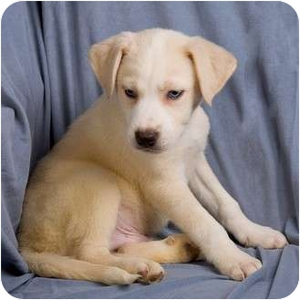 Labrador Retriever/Husky Mix Puppy for adoption in Anna, Illinois - NOAH