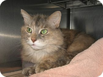 Domestic Longhair Cat for adoption in Wheaton, Illinois - Lady