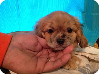 Pekingese/Dachshund Mix Puppy for adoption in ST LOUIS, Missouri - Jellybean & her siblings