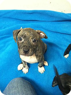 American Staffordshire Terrier/American Pit Bull Terrier Mix Puppy for adoption in Kendalia, Texas - Dixie