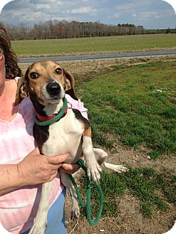 Beagle Mix Dog for adoption in Dumfries, Virginia - Sandy