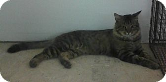 Maine Coon Cat for adoption in Speedway, Indiana - Lou