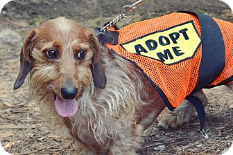 Dachshund Dog for adoption in Decatur, Georgia - GUEST DOG - Stripe