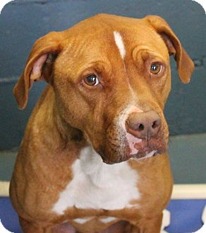 Pit Bull Terrier/Pit Bull Terrier Mix Dog for adoption in Henderson, North Carolina - Dudley