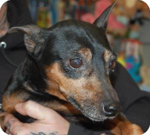 Miniature Pinscher Mix Dog for adoption in Brooklyn, New York - Martin