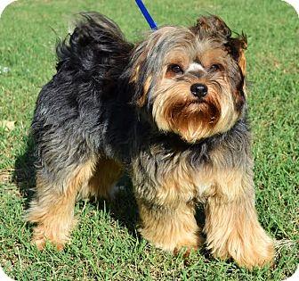 Yorkie, Yorkshire Terrier/Shih Tzu Mix Puppy for adoption in Westport, Connecticut - *Cooper - PENDING