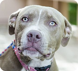 Pit Bull Terrier Mix Dog for adoption in Adrian, Michigan - Bernice
