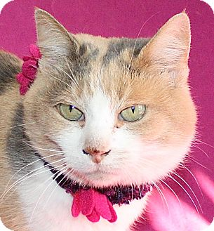 Calico Cat for adoption in Jackson, Michigan - Feisty