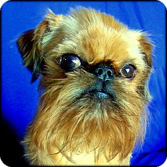 Brussels Griffon Dog for adoption in Lemont, Illinois - MURPHY in Nauvoo, IL.