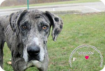 Great Dane Mix Dog for adoption in Sidney, Ohio - Duchess