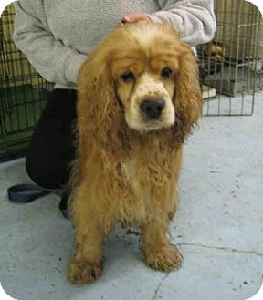 Cocker Spaniel Dog for adoption in Kirkland, Quebec - Rusty