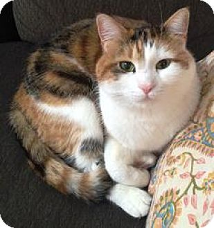 Domestic Shorthair Cat for adoption in Norwalk, Connecticut - Hannah