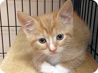 Domestic Shorthair Kitten for adoption in East Brunswick, New Jersey - Noodles