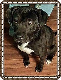 Labrador Retriever Mix Dog for adoption in Williamsburg, Virginia - Jada