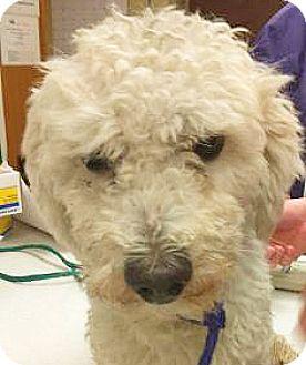 Poodle (Miniature) Mix Dog for adoption in Spokane, Washington - Dino