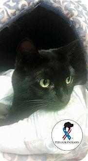 Domestic Shorthair Cat for adoption in Glen Mills, Pennsylvania - Darby