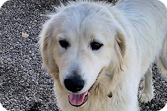 Great Pyrenees Mix Dog for adoption in Kyle, Texas - Bandi