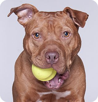 American Pit Bull Terrier/American Staffordshire Terrier Mix Dog for adoption in Chicago, Illinois - Gusto