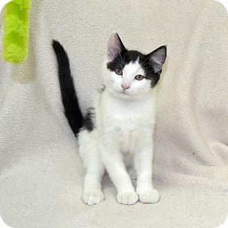 Domestic Shorthair Kitten for adoption in Wheaton, Illinois - McFlurry