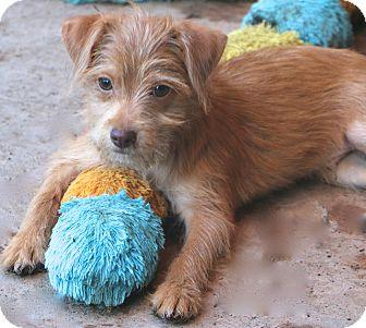 Border Terrier Mix Dog for adoption in Norwalk, Connecticut - Fajita
