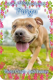 American Staffordshire Terrier Mix Dog for adoption in Lowell, Indiana - Paige