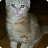 Adopt A Pet :: Amadeus - Sunderland, ON