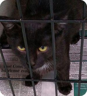 Domestic Shorthair Kitten for adoption in Yuba City, California - Karma