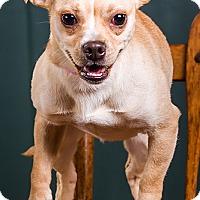Adopt A Pet :: Belle - Owensboro, KY