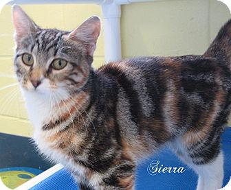 Domestic Shorthair Cat for adoption in Jackson, New Jersey - Sierra