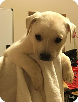 Terrier (Unknown Type, Medium) Mix Puppy for adoption in Brookeville, Maryland - Jack